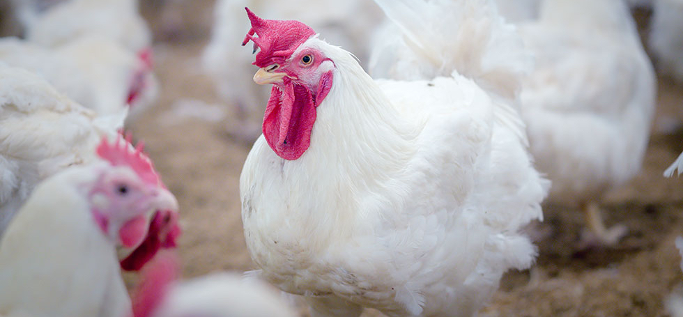 Global Animal Partnership – Behind the G.A.P. Better Chicken Project
